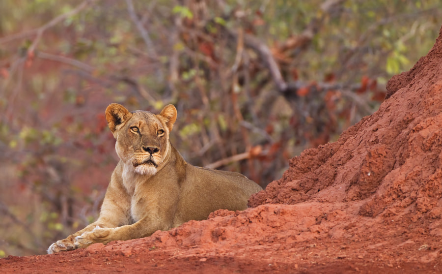 We found this Lioness posing nicely by a termite mound on the shores of Lake Kariba, Matusadona National Park, Zimbabwe, 24th September 2011
