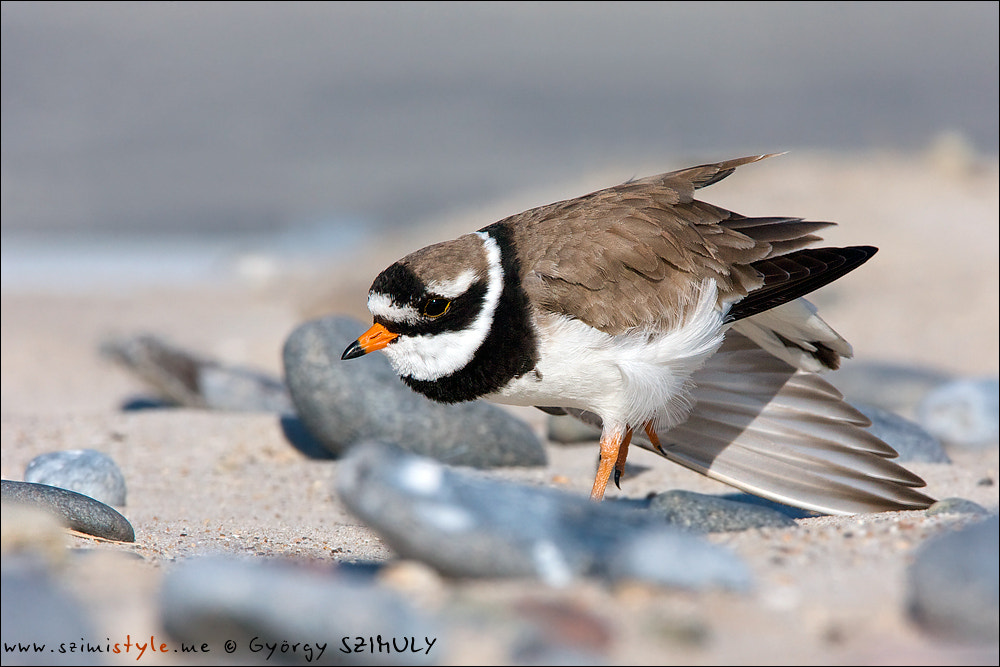 Photograph Common Ringed Plover (Charadrius hiaticula hiaticula) by Gyorgy Szimuly on 500px