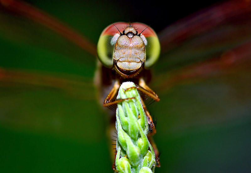 Photograph ....Dragonfly.... by Bu Balus on 500px