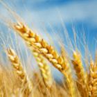 Barley by Gianluca Cenacchi