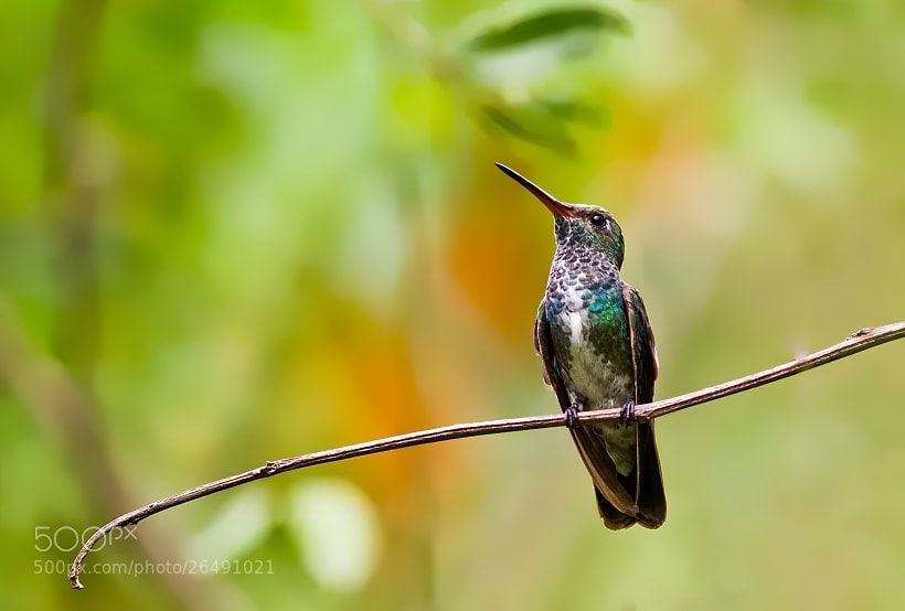 Photograph beija-flor-de-garganta-verde by Marcelo Camacho on 500px