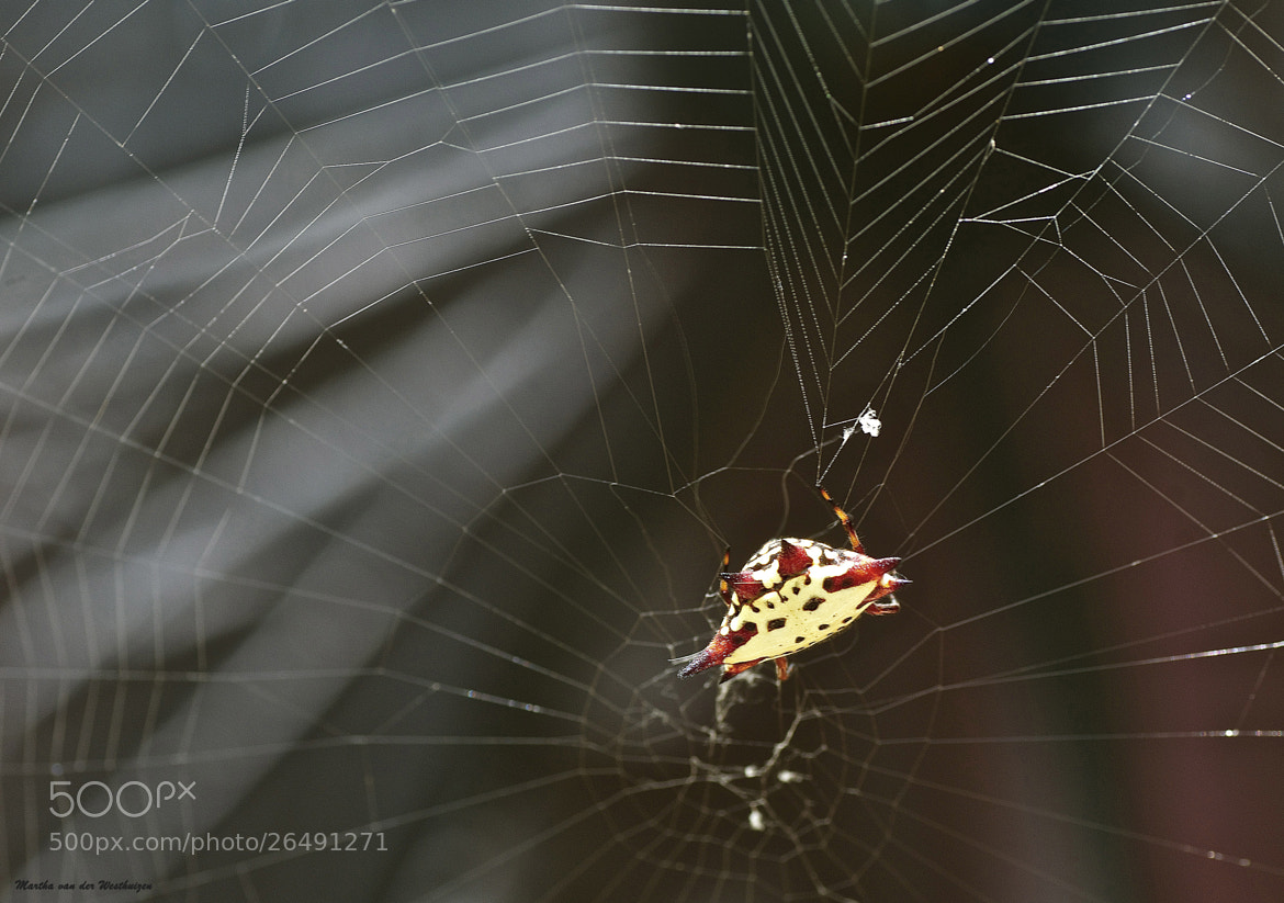 Photograph Flying Saucer Spider by Martha van der Westhuizen on 500px