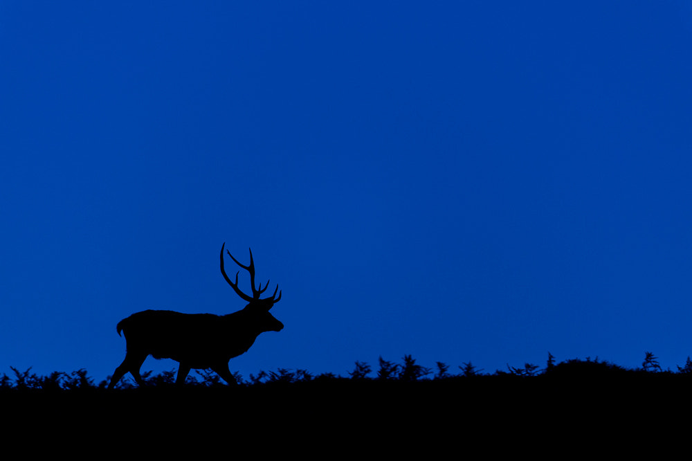Photograph Red Deer Stag silhouetted at twilight by Andrew Mason on 500px