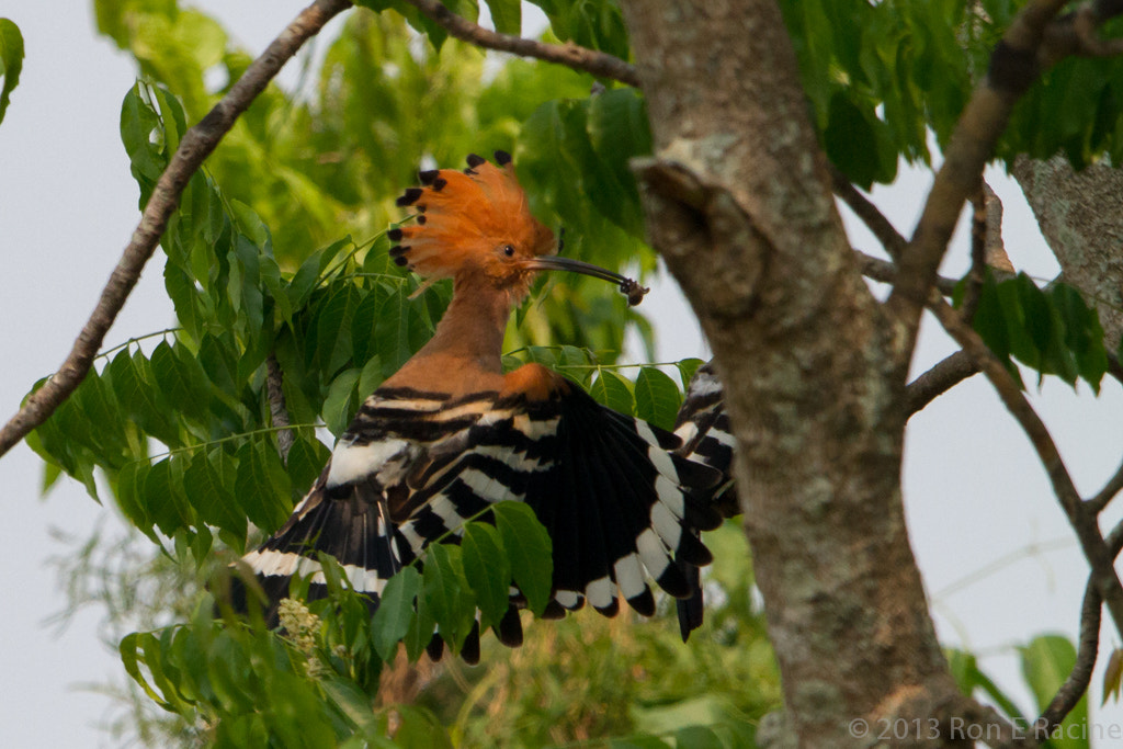 Photograph Hoopoe Bringing in Food by Ron E Racine on 500px