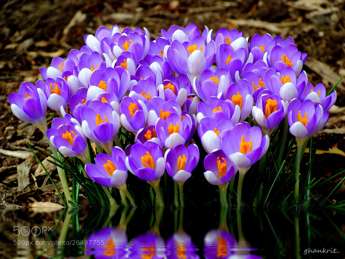 Photograph 100 Crocus by Amy Smith on 500px