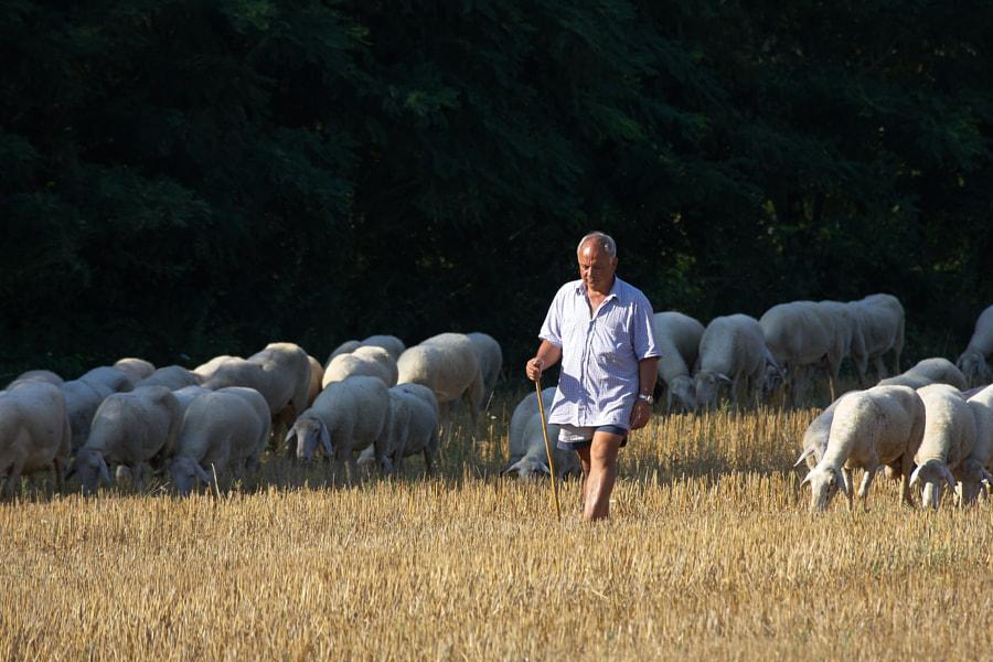 A sherperd walking his herd near Lago Trasimeno