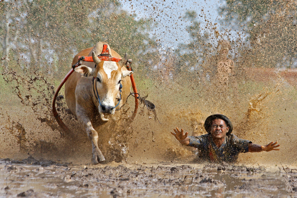 Photograph Cow Race ~ The Fall by Annemarie Rulos - vd Berg on 500px