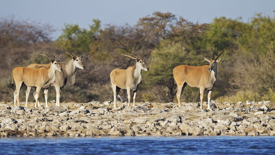 Etosha is fabled for its harsh light and hazy conditions, I hope this puts the record straight. These Eland were at klein Namutoni waterhole, 29th June 2011