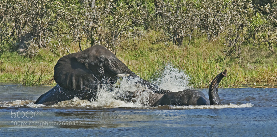 These two young bulls were enjoying themselves in the River Kwhai, we were up to our running boards in water and mud well worth it. Taken in Kwhai Village Conservancy, Botswana, 3rd May 2010