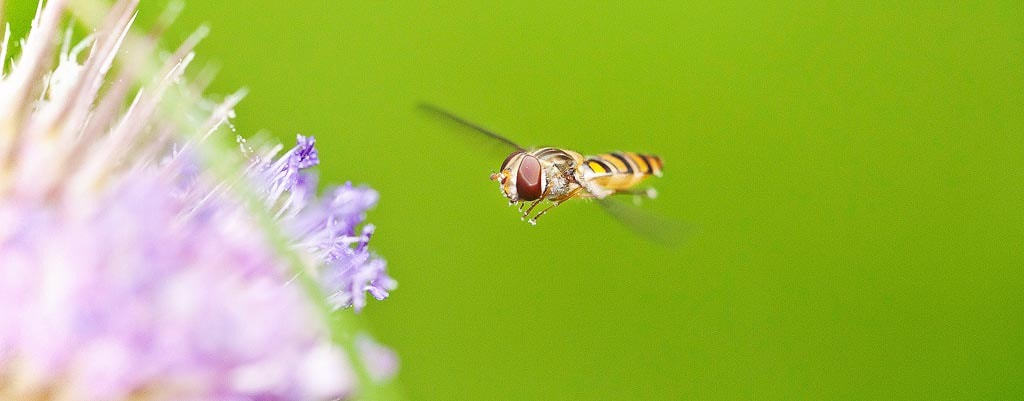Photograph Hoverfly by Alexander Hare on 500px