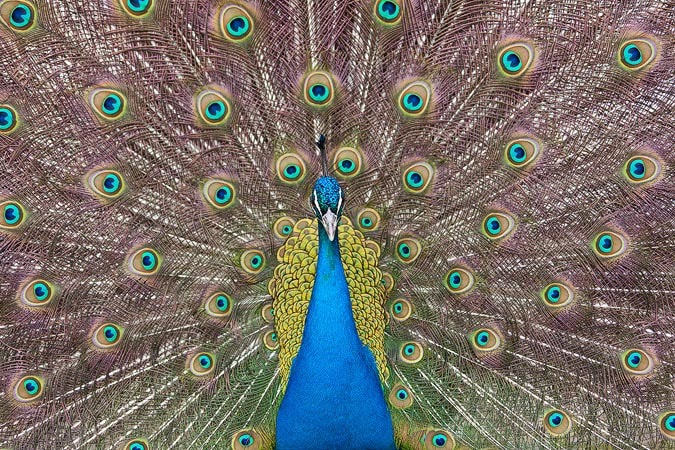 Photograph Peacock, Monkey Island. by Alexander Hare on 500px