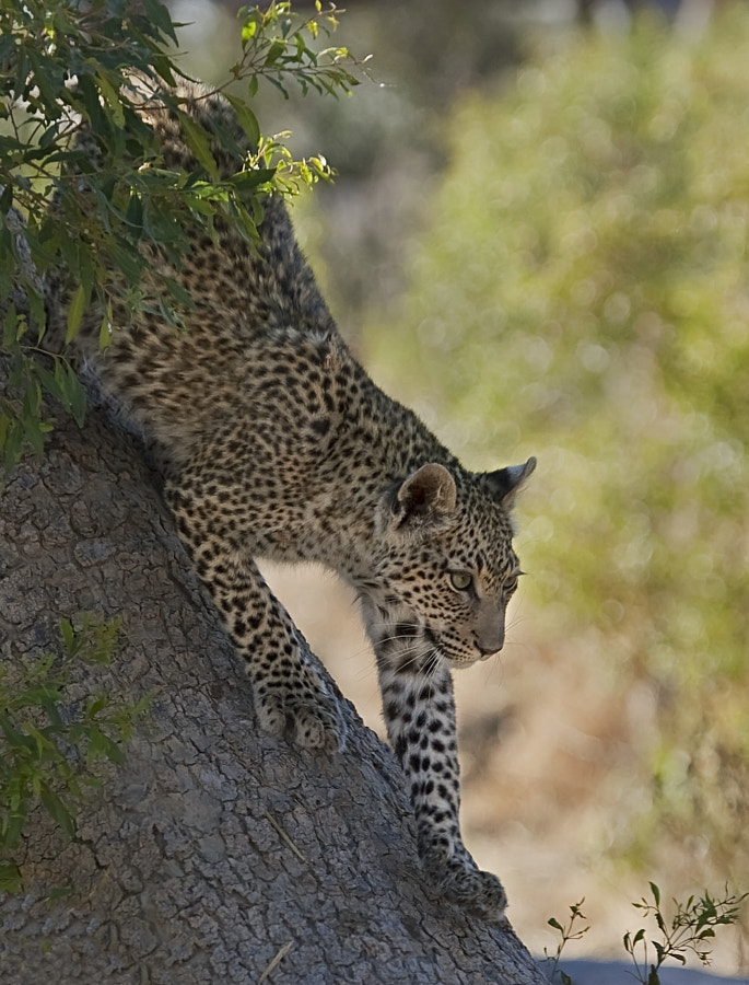 This young Leopard was being taight by its mum, she took meat (from an Impalla) up the tree and the cub climbed up easily yo get it, coming down was another matter.  Taken in Chitabe, Botswana, 2nd October 2004