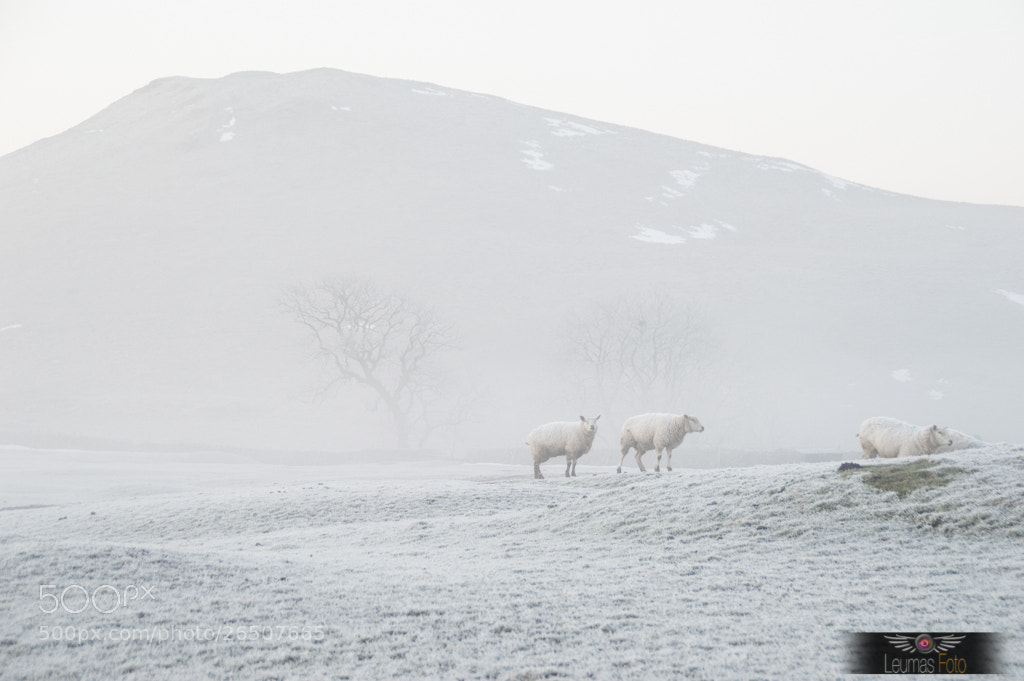 Photograph Sheep in the Mist by Sam Bentley on 500px