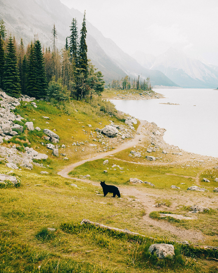 We saw 9 black bears in one day in Jasper, this was one of them., автор — Berty Mandagie на 500px.com
