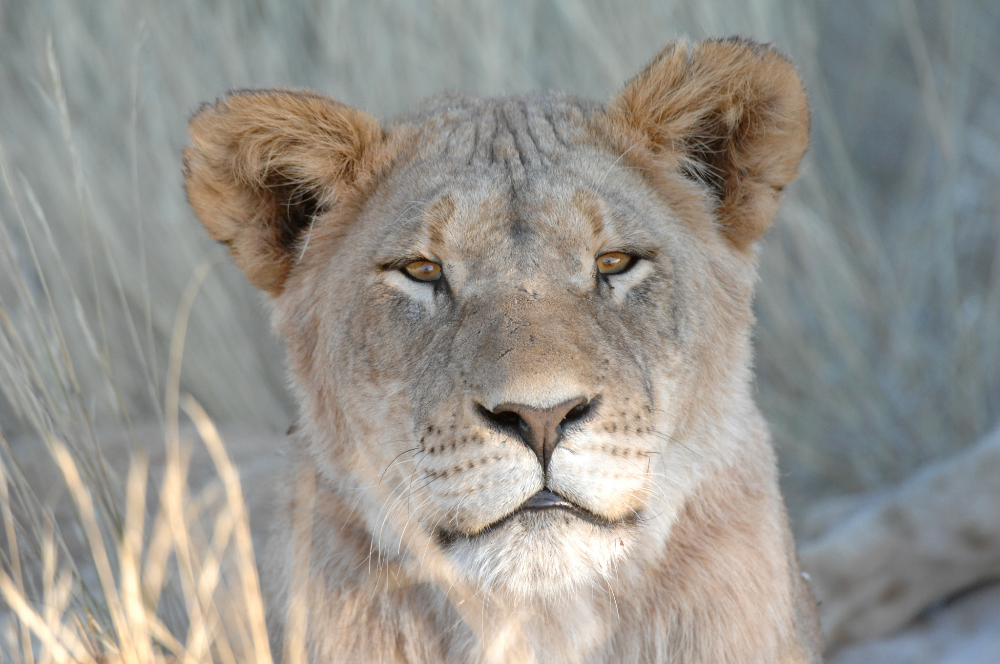 Photograph Young Kalahari Lioness by Tim Lowry on 500px