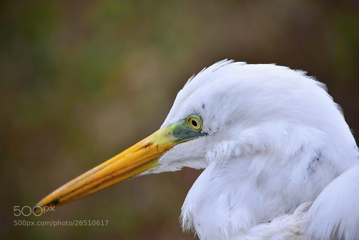 Photograph Great White Egret by Ferenc Gelencsér on 500px