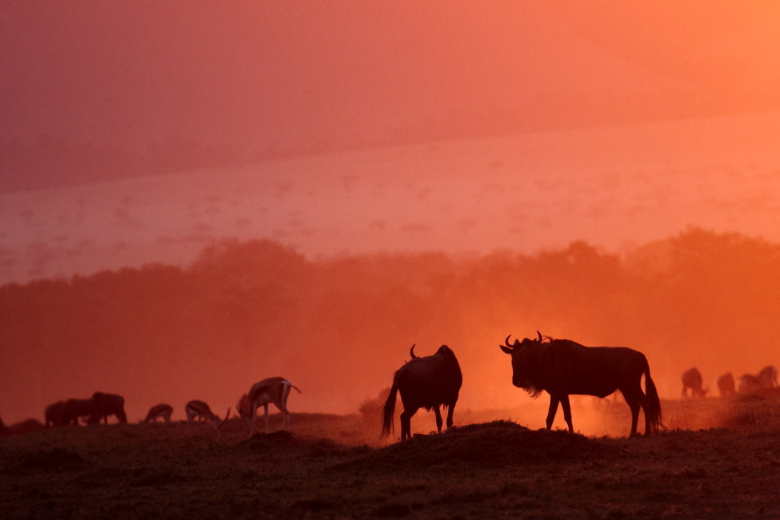 Photograph Wildebeest at dusk by Thomas Selig on 500px