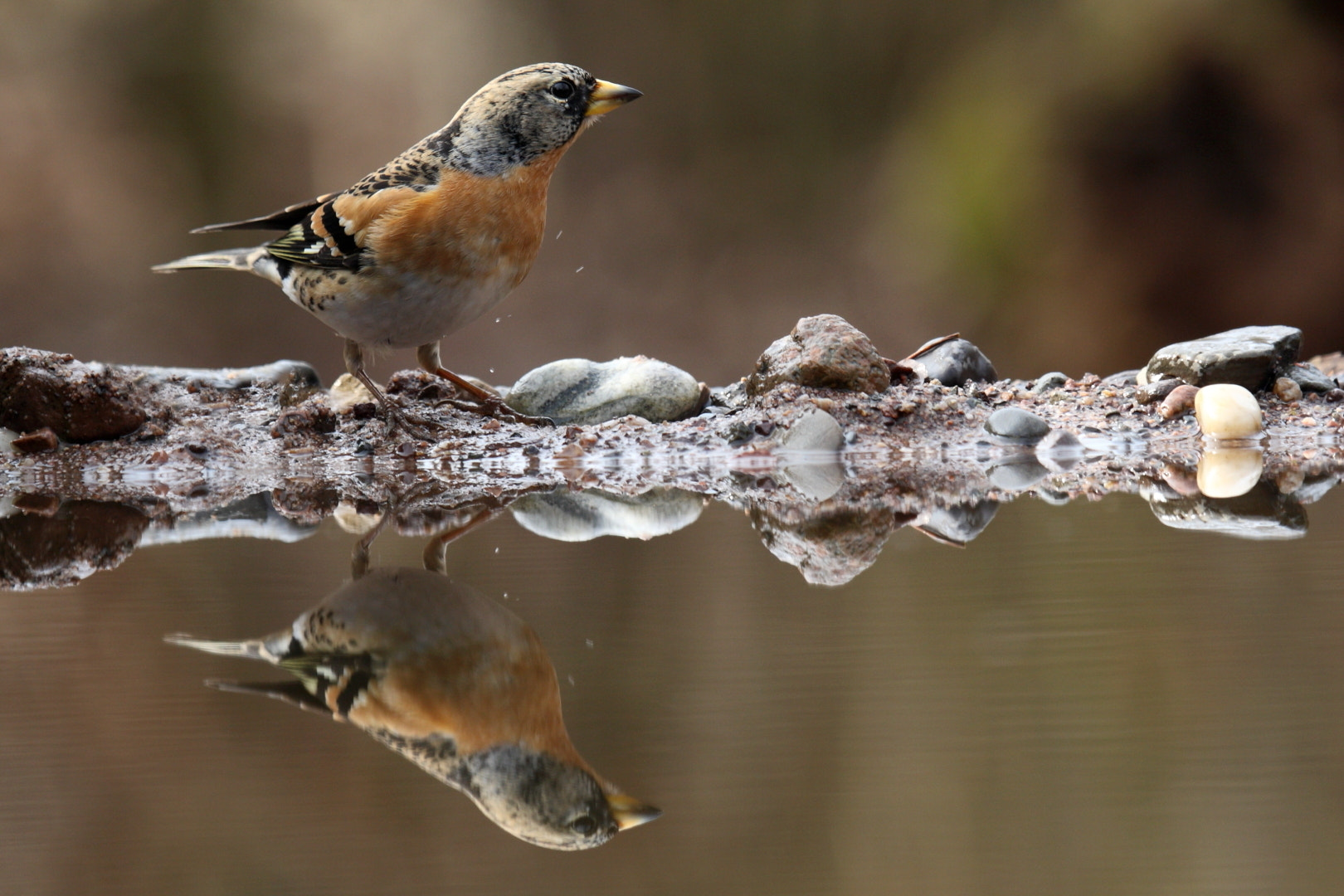 Photograph pinson du nord reflet by Thomas Selig on 500px