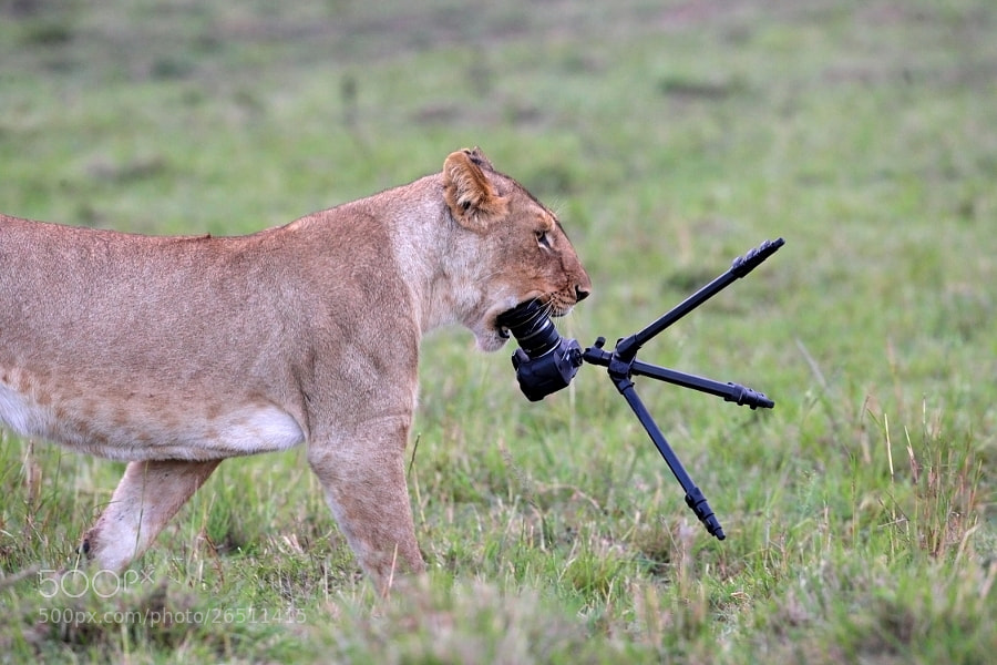 Photograph Lion and photo camera by Thomas Selig on 500px