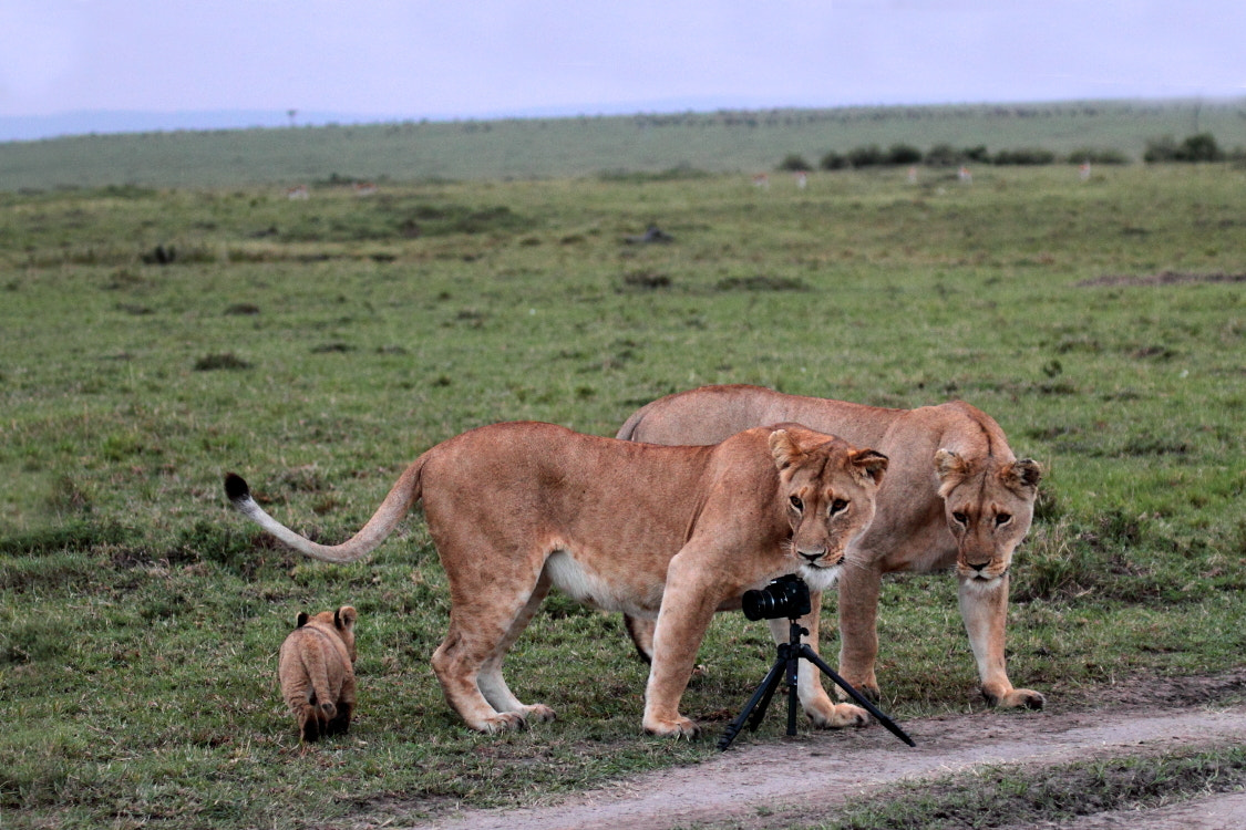 Photograph Lions discover by Thomas Selig on 500px