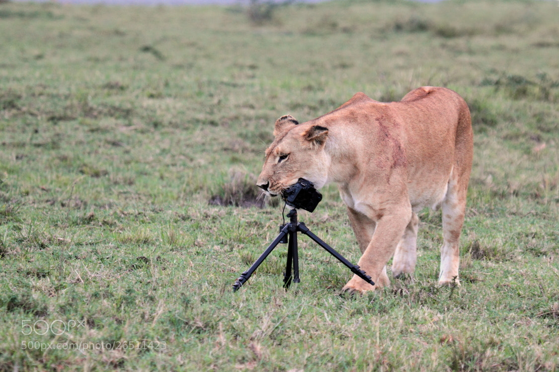 Photograph Lion and camera by Thomas Selig on 500px