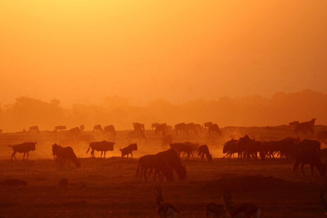 Photograph Wildebeest by Thomas Selig on 500px