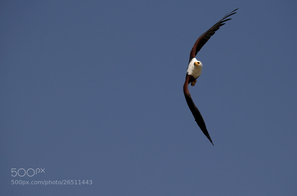 Photograph African fish eagle by Thomas Selig on 500px