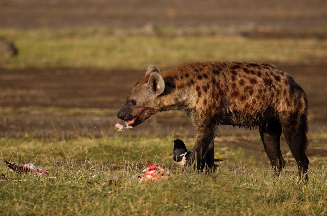 Photograph hyena by Thomas Selig on 500px
