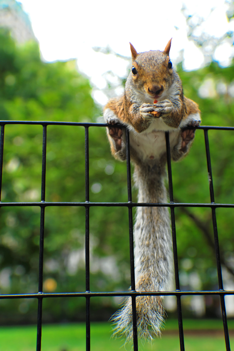 Photograph This Madison Square Park squirrel is my friend ;-) New York City by Michael FRANCHITTI on 500px