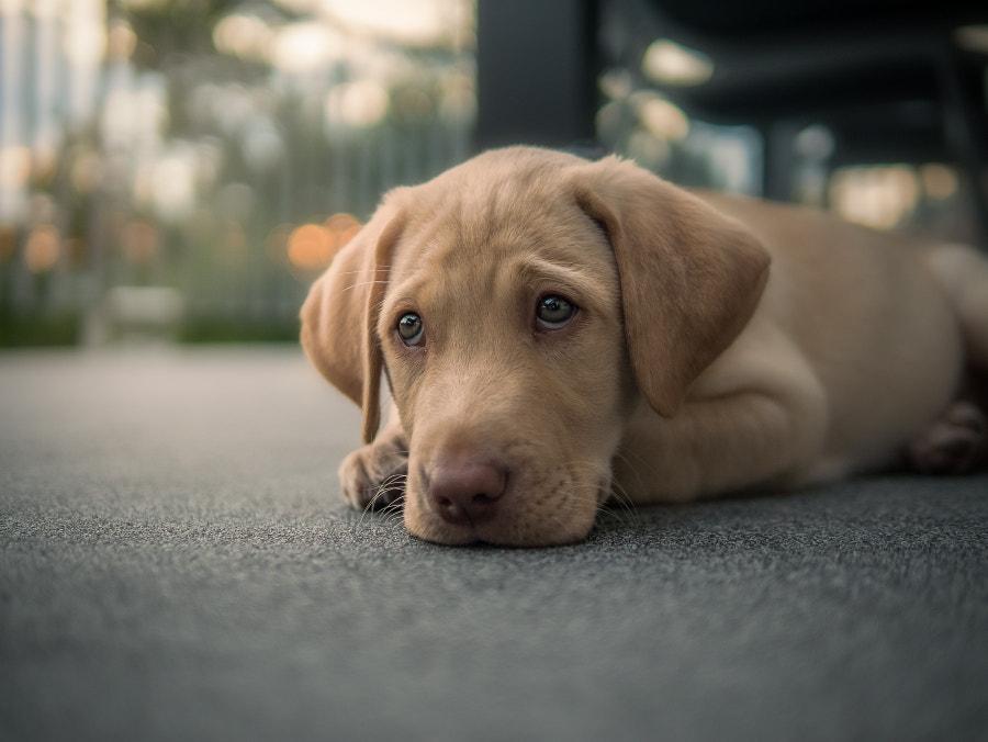 Labrador Puppy, автор — Thomas Russenberger на 500px.com