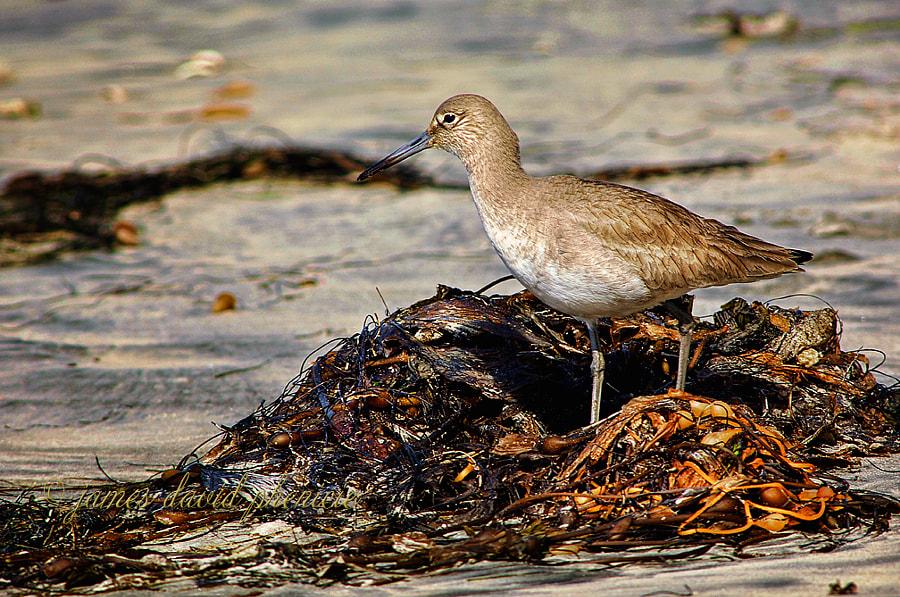 Willet in Seaweed