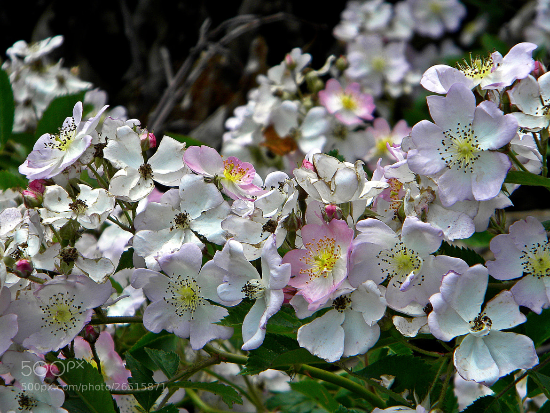 Photograph Flowers on a Vine by cherylorraine smith on 500px