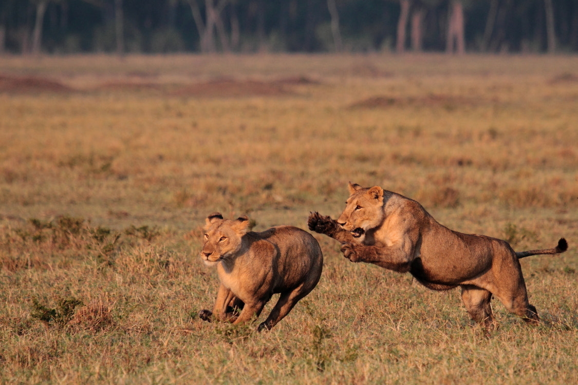 Photograph Lions playing by Thomas Selig on 500px