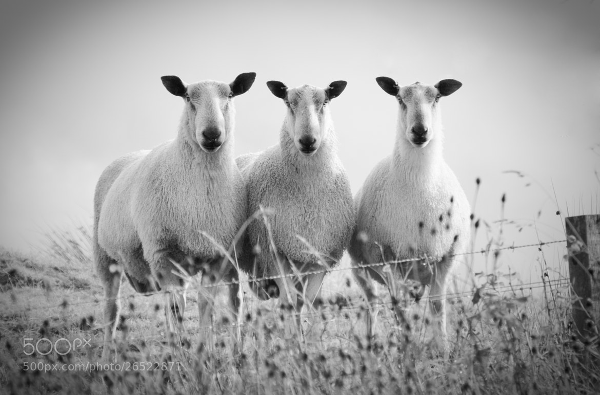 Photograph Sheep Line Up by Emma Samuel on 500px