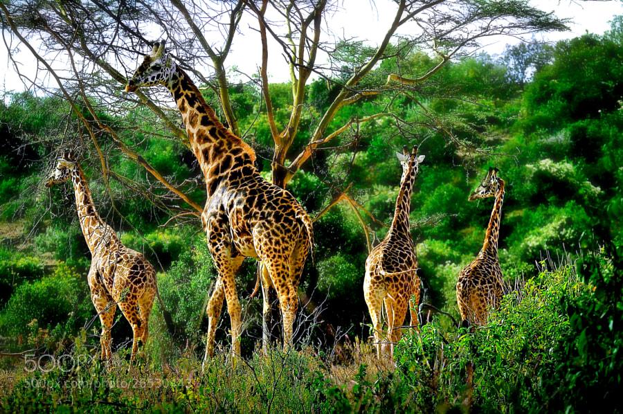 Photograph Rothschild Giraffes Sanctuary. Lake Nakuru National Park, Kenya © Nora de Angelli / www.noraphotos.c by Nora De Angelli on 500px