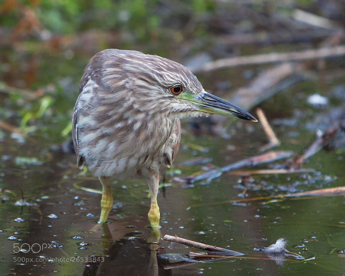 Photograph Night Heron at Sunset by Miguel Angel Leyva on 500px