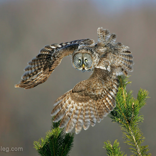 Great Gray Owl launch
