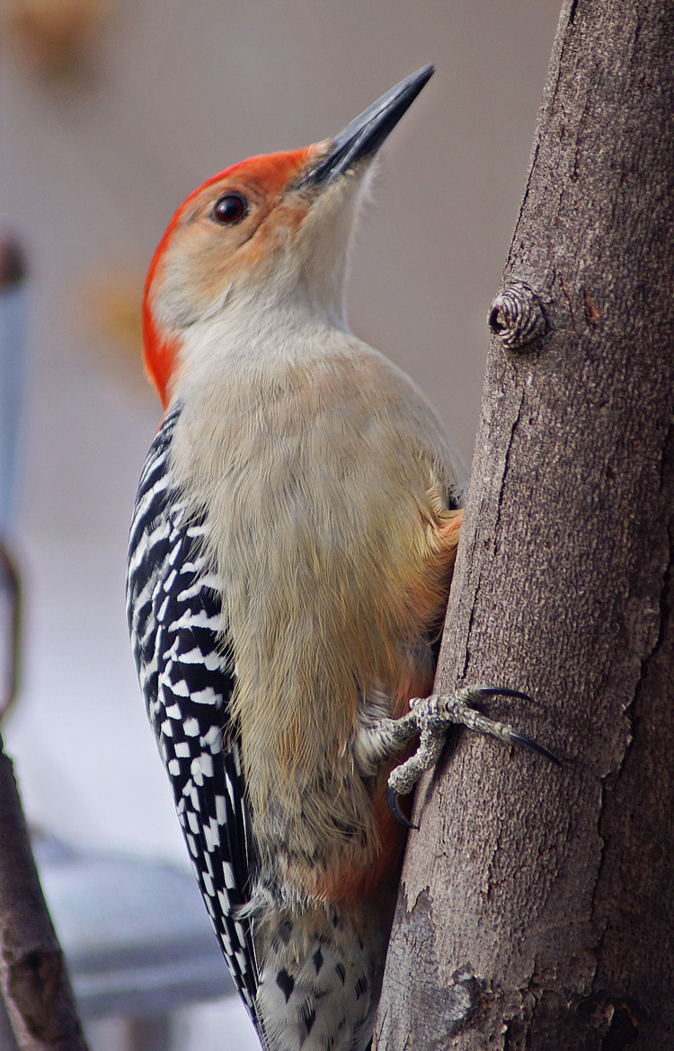 Photograph Red Bellied Woodpecker by Cherylorraine Smith on 500px