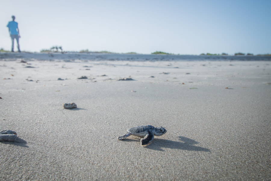 Baby Green sea turtle making its way to the Ocean. by SG Wildlife  Photography on 500px.com
