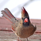 Female cardinal in the wind
