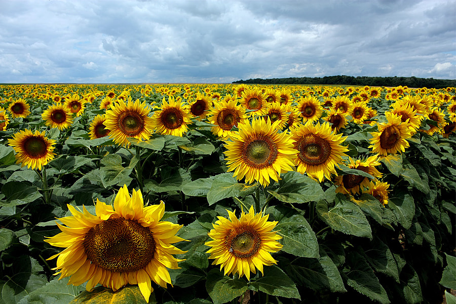 Sunflowers by Stefan Andronache on 500px.com