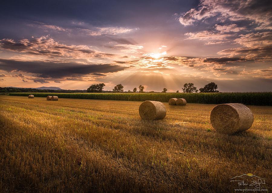 Golden field by Peter Zajfrid on 500px.com