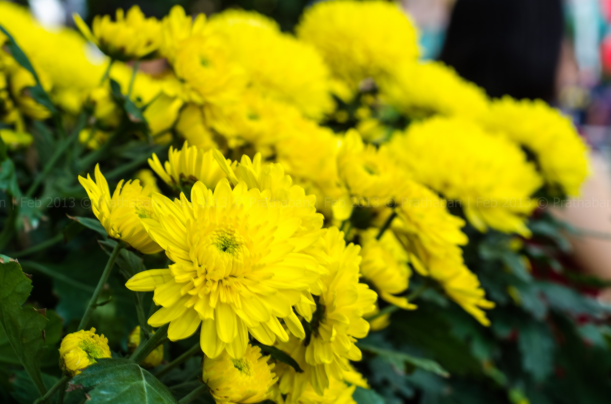 Photograph Yellow Flowers by Prathaban Umapathysarma on 500px