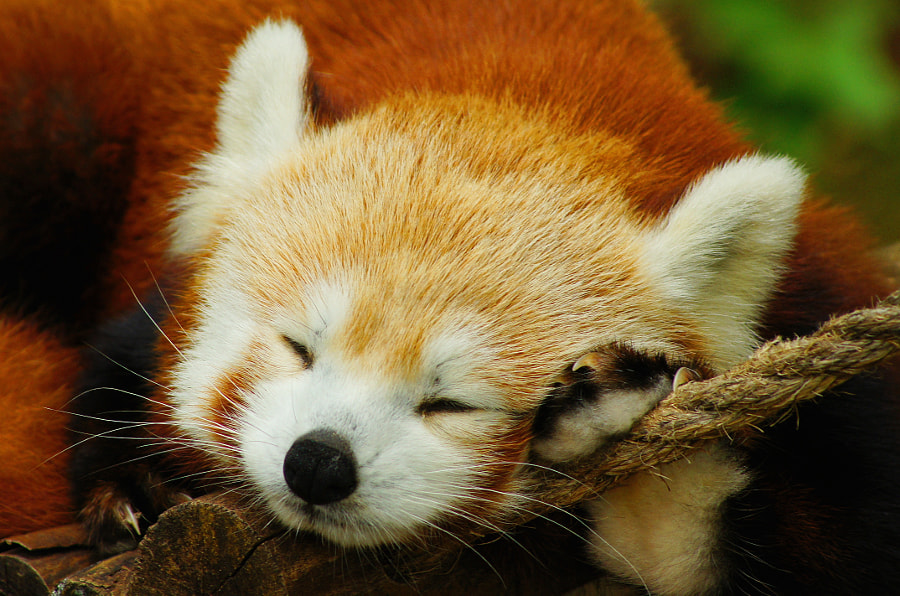 Photograph Red Panda Sleeps II by Aric Jaye on 500px