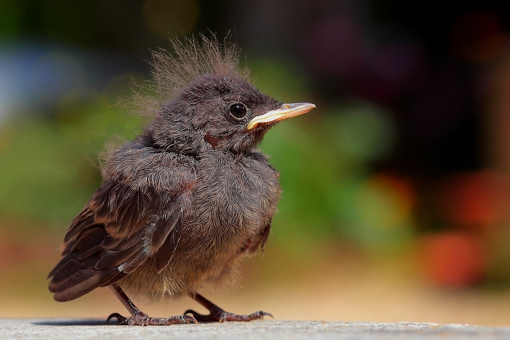 Photograph baby redstart by wise photographie on 500px