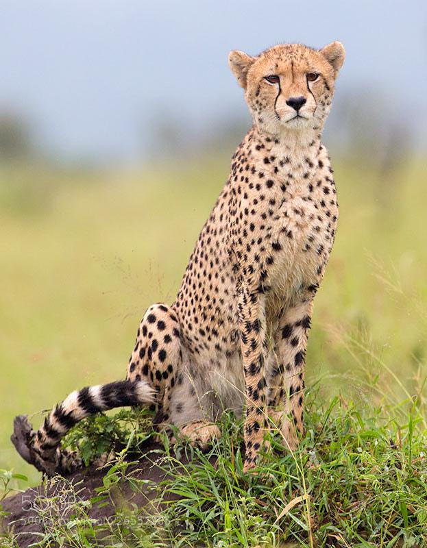 Photograph Wet Cheetah by Hendri Venter on 500px