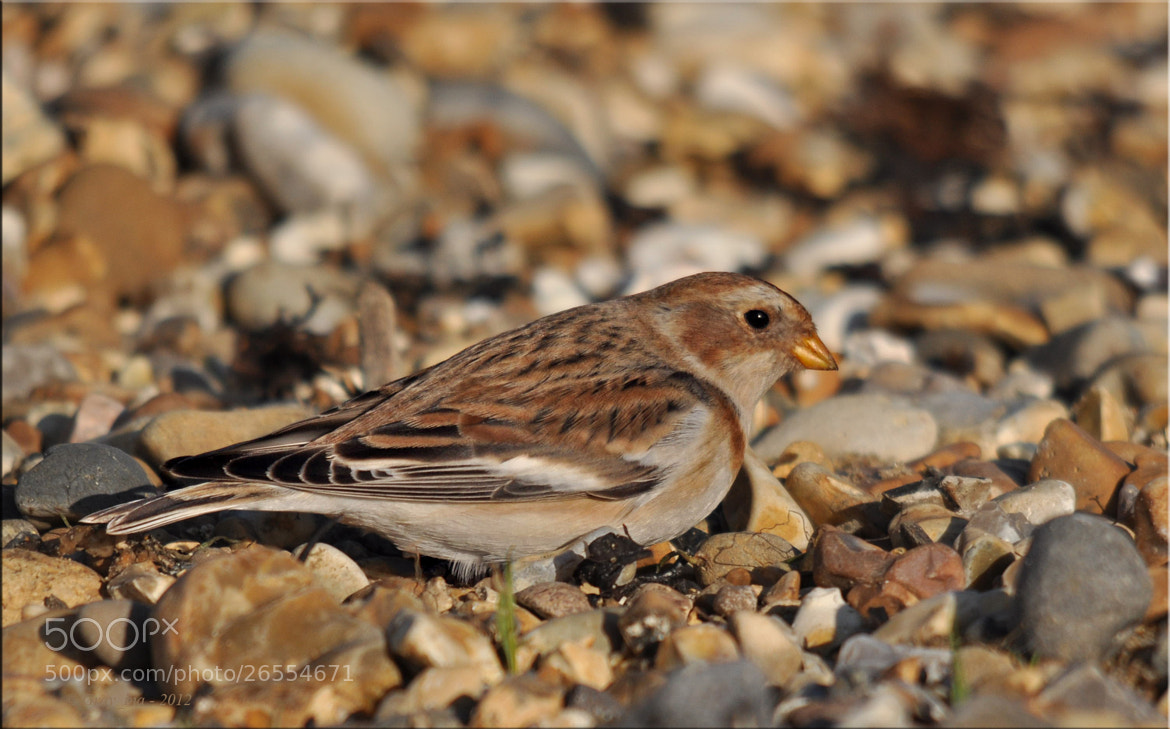 Photograph Snow Bunting by Graham Turner on 500px
