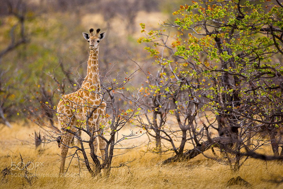 Photograph Young Giraffe in Landscape. by Hans Kruse on 500px