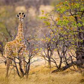 Young Giraffe in Landscape. by Hans Kruse (hanskrusephotography)) on 500px.com
