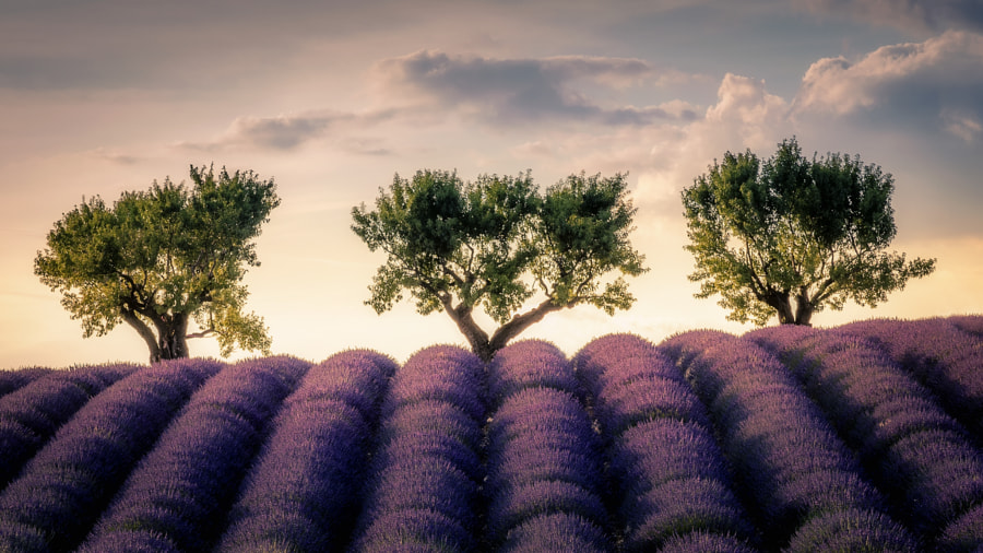 Lanvender field & trees de David Parenteau sur 500px.com